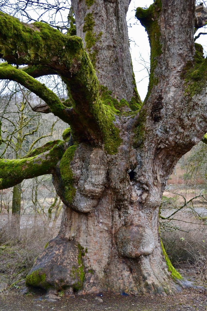 The Birnam Oak