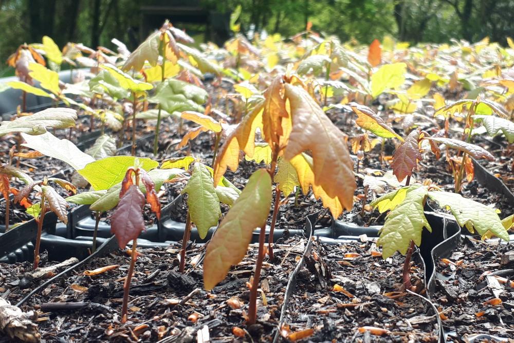 Oak Saplings at Moor Trees